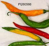 Capsicum Baccatum USDA #260566 Hot Peppers (Type 1) HP1415-10_Base