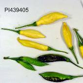 Capsicum Baccatum USDA #439405 Hot Peppers HP1626-10_Base