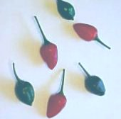 Capsicum Annuum USDA #593490 Hot Peppers HP2172-10_Base