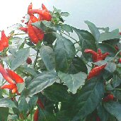 Capsicum Annuum USDA #439356 Hot Peppers (Type 2) HP2153-20_Base