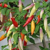 Aji Omnicolor Hot Peppers HP780-20