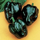 Ancho Poblano Hot Peppers HP1888-20_Base