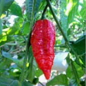 Assam Bhut Jolokia Hot Peppers  HP2049-5