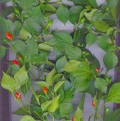 Ata Ijosi Hot Peppers HP1558-20_Base