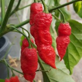 Bengal Naga Hot Peppers HP2298-5_Base