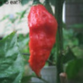 Bhut Jolokia Ghost Hot Peppers (Red) HP1987-5