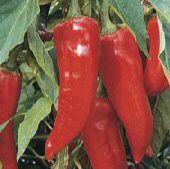 Boldog Hungarian Spice Hot Peppers HP33-10