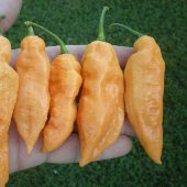 Bhut Jolokia Ghost Hot Peppers (Peach) HP2304-5