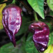 Bhut Jolokia Ghost Hot Peppers (Purple) HP2302-5