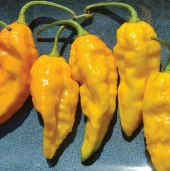 Bhut Jolokia Ghost Hot Peppers (Yellow) HP2211-5_Base
