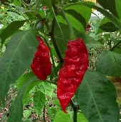 CPI Bhut Jolokia Hot Peppers HP2050-5