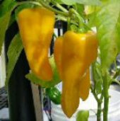Cantina Hot Peppers (Yellow) HP1041-10