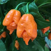Carolina Reaper Hot Peppers (Orange) HP2286-5_Base