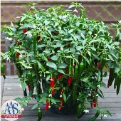 Cayennetta Hot Peppers HP2246-10_Base