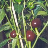 Chocolate Cherry Hot Peppers HP46-10_Base