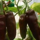 Fatalii Hot Peppers (Chocolate) HP2014-10_Base