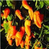 Golden Ghost Hot Peppers HP2251-5_Base