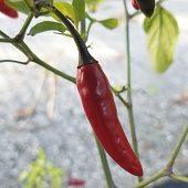 Guapito Hot Peppers HP2324-20_Base