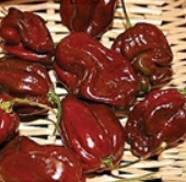 Habanero Hot Peppers (Chocolate Strain 5) HP1982-10_Base