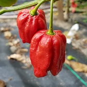 Habanero Hot Peppers (7 Pot Red) HP2015-5