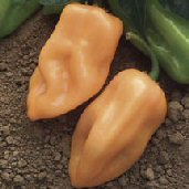 Habanero Hot Peppers (Burning Bush) HP2037-10_Base