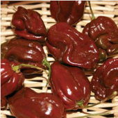 Habanero Hot Peppers (Chocolate Strain 7) HP2013-10