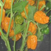 Habanero Hot Peppers (Orange Devil) HP1296-10