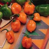Habanero Hot Peppers (Orange Strain 1) HP97-10_Base