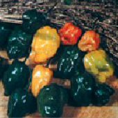 Habanero Hot Peppers (Orange Strain 2) HP1812-10
