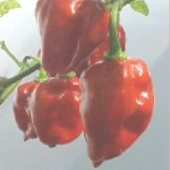 Habanero Hot Peppers (Red Dominica) HP854-10