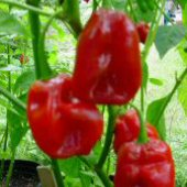 Habanero Hot Peppers (Red Savina™) - Guinness World Record HP426-20