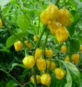 Habanero Hot Peppers (Royal Gold) HP902-10