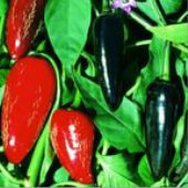 Hungarian Black Hot Peppers HP115-20