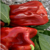 Habanero Hot Peppers (Red Strain 1) HP1776-10_Base