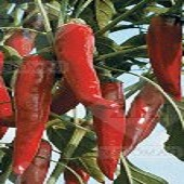 Kalocsai V-2 Hot Peppers HP2204-20_Base