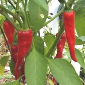 Merah Hot Peppers HP151-10_Base