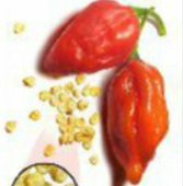 Naga Morich Hot Peppers HP1986-5