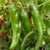 New Mexico 64L Hot Peppers HP1802-20