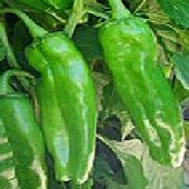 NuMex 6-4 Hot Peppers HP1815-20