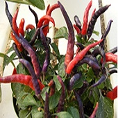 NuMex April Fool's Day Hot Peppers HP2260-10