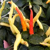 NuMex Cinco de Mayo Hot Peppers HP2258-10