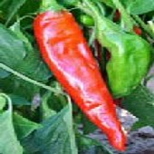 NuMex Sandia Hot Peppers HP169-20_Base