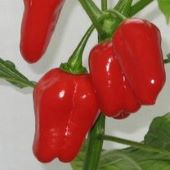 NuMex Suave Hot Peppers (Red) HP1817-10