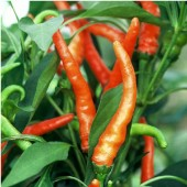 NuMex Sunburst Hot Peppers HP170-20_Base