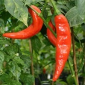 NuMex Sunset Hot Peppers HP174-20_Base