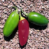 NuMex Vaquero Hot Peppers HP2264-10_Base