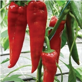 Paprika Hot Peppers HP315-10_Base
