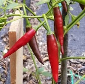 Pico de Pajaro Hot Peppers HP2083-10