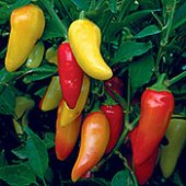 Rio Grande Hot Peppers HP273-20_Base