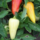 Santa Fe Grande Hot Peppers HP211-20_Base